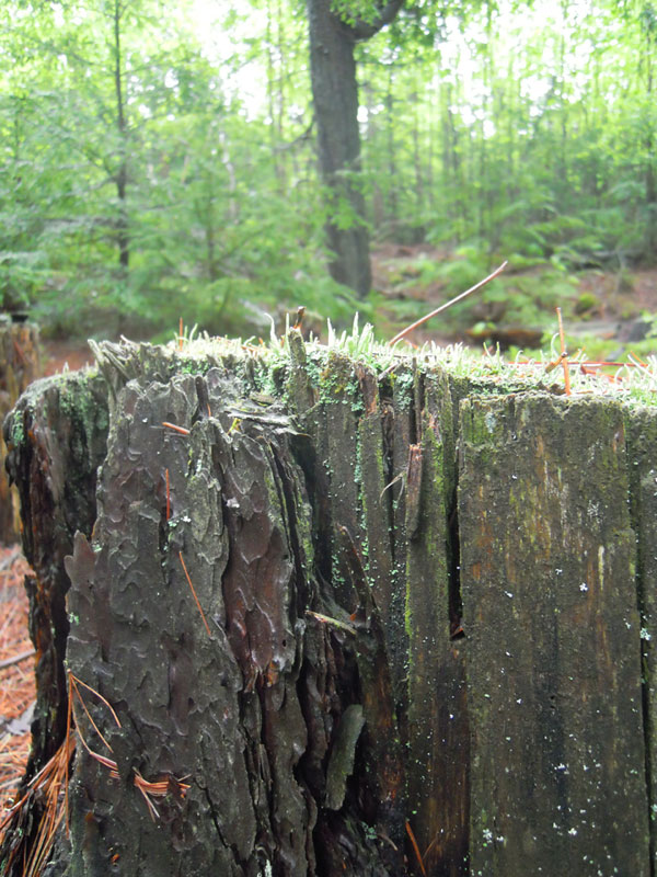 A stump with beautiful line variations with a growth of short little green joys encasing the top. Would make a really cool table runner (stripes capped with little checks of green)